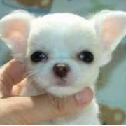Beautiful chihuahua puppy face pictures.PNG