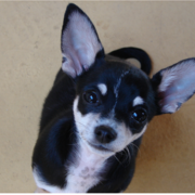 Black and white chihuahuas puppy looking up to the camera.PNG