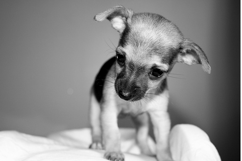 Black and white photo of female chihuahua puppy png
