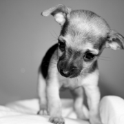 Black and white photo of female chihuahua puppy.PNG