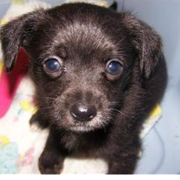 Black chihuahua poodle puppy pictures.PNG