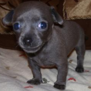 Black chihuahua puppy pictures.PNG