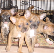 Brindle chihuahua puppies picture.PNG