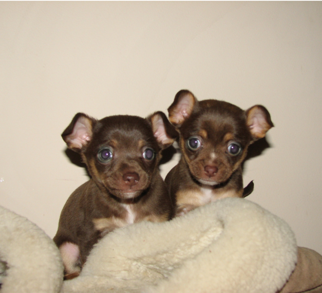 Brown chihuahua puppies picture.PNG