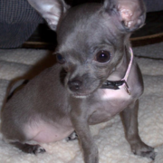 Chihuahua dog puppy pictures.PNG