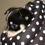 chihuahua puppy photo hidden in a comfort bag.PNG