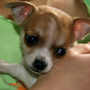 Chihuahua puppy picture.PNG