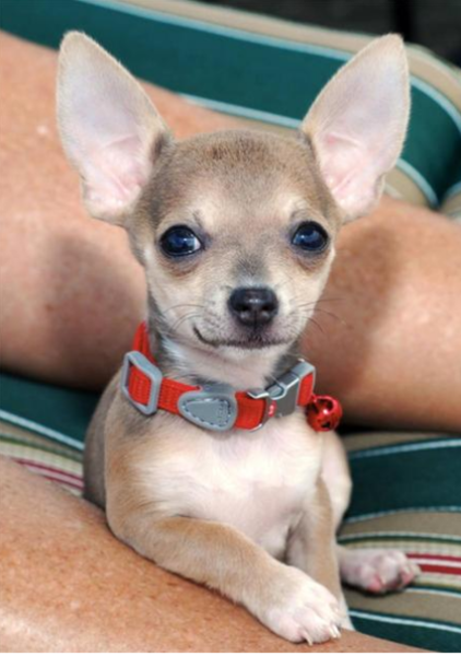 Chihuahua puppy posting picture.PNG