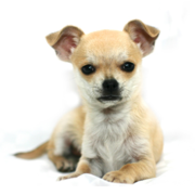 Chihuahua puppy wallpaper.PNG
