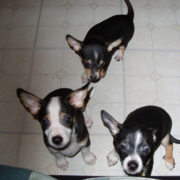 CKC Chihuahua Puppies picture.PNG