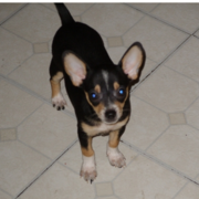 CKC Chihuahua Puppy image.PNG
