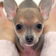 Close up picture of a cute dog chihuahua puppy.PNG