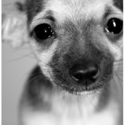 Close up picture of chiwawa puppy.PNG