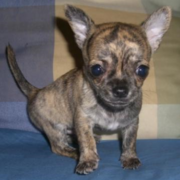 Cute  chihuahua brindle puppy.PNG