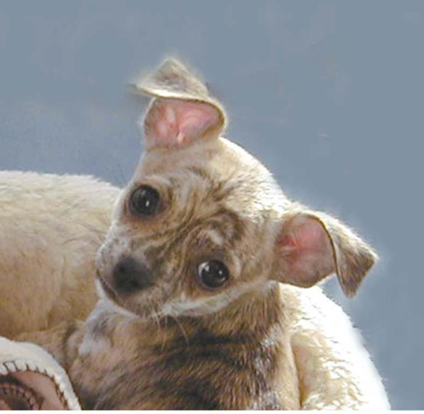 Cute chihuahua puppy face picture.PNG