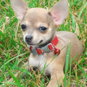 cute chihuahua puppy image.PNG