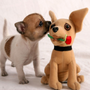 cute chihuahua puppy photos.PNG