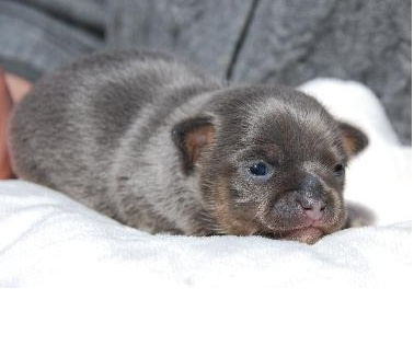 Cute chubby blue Chihuahua puppy photo.PNG
