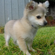 Cute pomeranian chihuahua puppy picture.PNG
