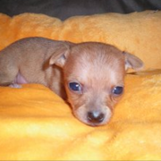 Cute red chihuahua puppy pictures.PNG