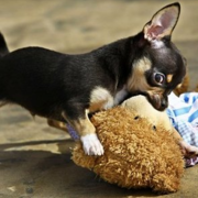 Dachshund chihuahua puppy picture.PNG