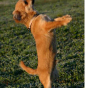 Dancing chihuahua puppy pic.PNG