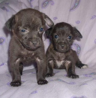 Dark brown yorkie chihuahua puppies picture.PNG
