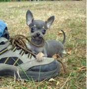 deer chihuahua puppies.PNG