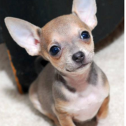 Great picture of chihuahua dog.PNG