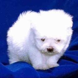 maltese young pup with long hair.jpg