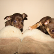 Chihuahua teacup puppies in brown.PNG