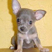 Grey teacup chihuahua puppy photos.PNG