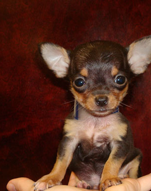 Dark Brown Chihuahua Puppies – images free download