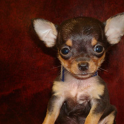 Teacup Chihuahua in tan and brown.PNG