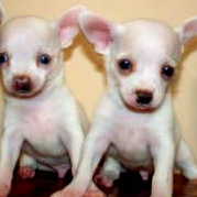 White tea cup chihuahua puppies images.PNG
