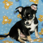 jack russell chihuahua puppy.PNG