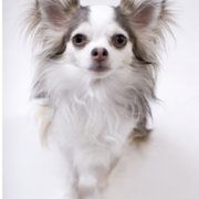 Long coat chihuahua dog picture.PNG