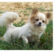 Long coat chihuahua pup image.PNG