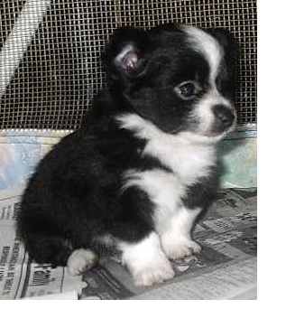 long coat chihuahua puppy in black and whitepng 2 comments