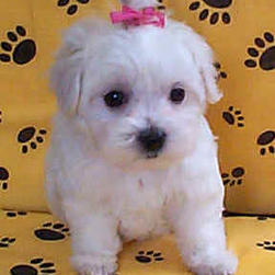 maltese young puppy2.jpg