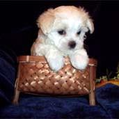 maltese young puppy on a basket.jpg