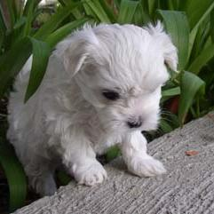maltese young puppy.jpg