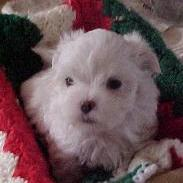 maltese young white puppy.jpg