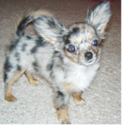 Long coat chihuahua puppy with cool patterns and long ears.PNG