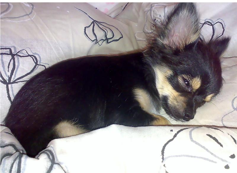 Long Hair Chihuahua Puppy Breederpng Hi Res 720p Hd