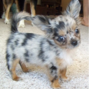 Long haired chihuahua puppy with cool dots.PNG