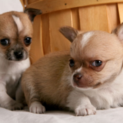 Male akc chihuahua puppies.PNG