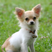 Long coat chihuahua puppy photo.PNG