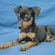 Min Pin Puppy pictures.PNG