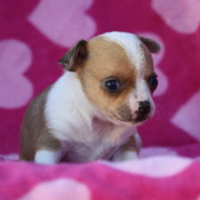 Photo of akc chihuahua puppy.PNG